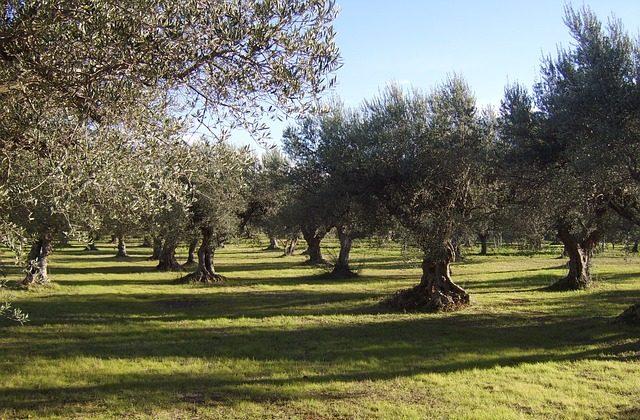 Osimo, la tutela degli olivi approda in Consiglio comunale
