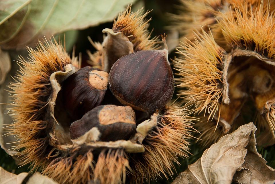 Alla ricerca delle castagne nel bosco: dove raccoglierle nelle Marche