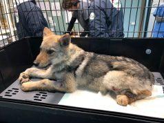 Rocco, primo soccorso per l'ambulanza veterinaria