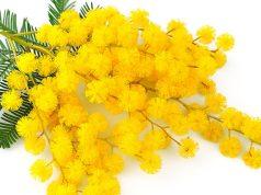 La mimosa, simbolo dell'8 marzo e della festa della donna