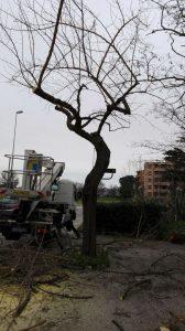 albero via puccini jesi