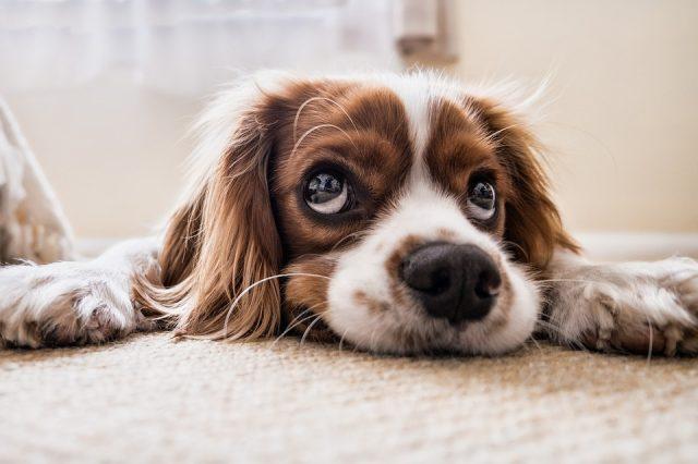 cane-tappeto