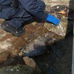 Le tartarughe marine Caretta Caretta recuperate a Senigallia dalla Guardia Costiera