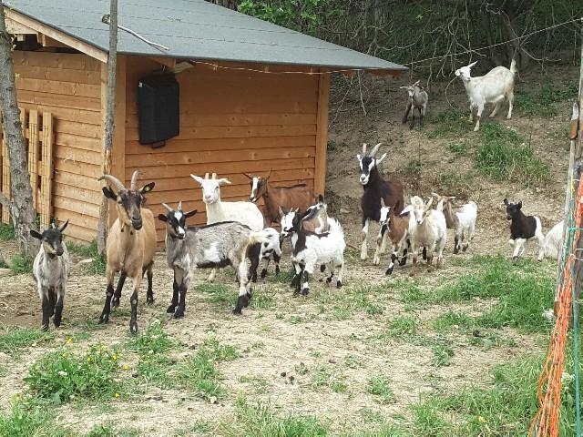 Jesi, a tagliare l'erba ci pensano di nuovo le capre