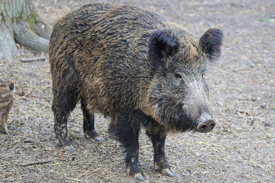 San Costanzo, caccia di selezione: abbattuto cinghiale record di 170 chili