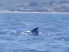 I delfini a Senigallia