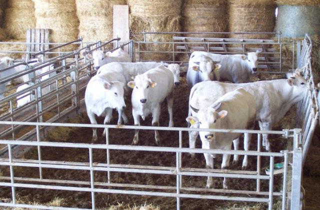 I bovini dell'Agricom di Fabriano