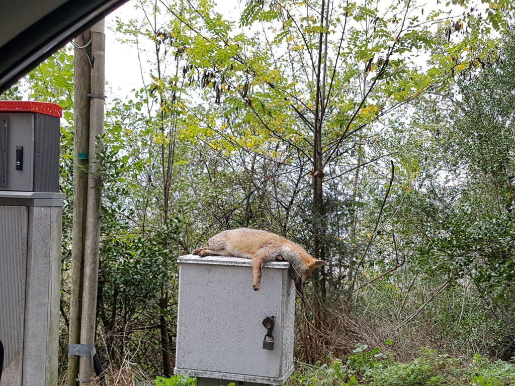 La volpe morta abbandonata sopra la cabina del telefono (Foto gentilmente concessa da Pamela Infusino)