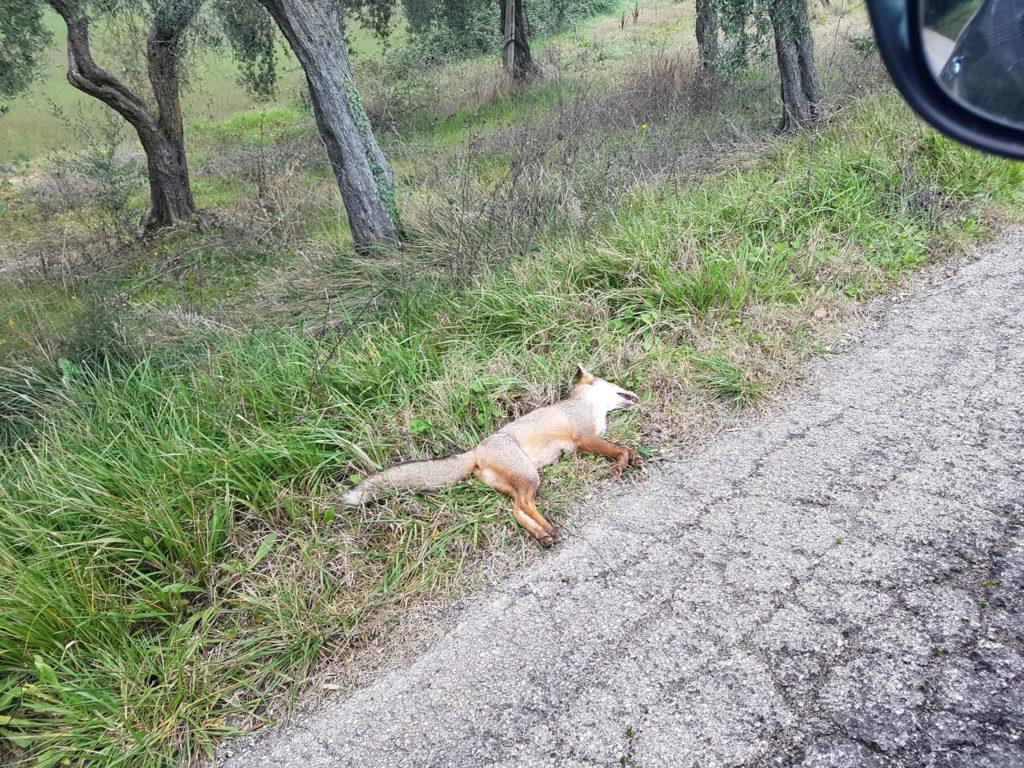 La seconda volpe abbandonata sul ciglio della strada sotto il civico 35 di via San Valentino nella frazione di Santo Stefano (Foto gentilmente concessa da Pamela Infusino)
