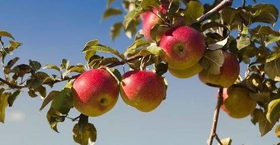 Il Festival della mela rosa mette in luce un prodotto marchigiano d'eccellenza