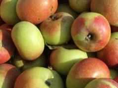 Le mele rosa del territorio marchigiano