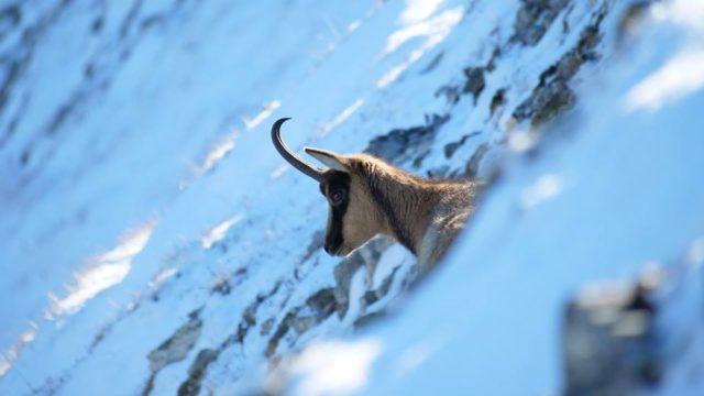 Il camoscio appenninico ripopola il Parco dei Monti Sibillini