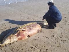 La carcassa di delfino rinvenuta sulla spiaggia di Senigallia