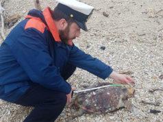 I rilievi da parte della Guardia Costiera sulla tartaruga marina rinvenuta sulla spiaggia di Montemarciano