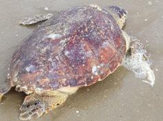 La tartaruga marina rinvenuta sulla spiaggia di Senigallia