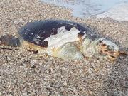 La tartaruga rinvenuta a Marina di Montemarciano