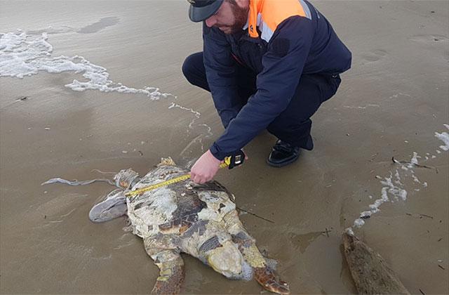 Una delle due tartarughe marine rinvenute sulla spiaggia di Senigallia