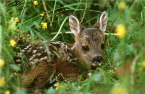 Un cucciolo di capriolo nascosto tra la vegetazione