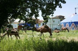 """Gli animali del circo """"Royal Circus"""" a Villa Torlonia di Senigallia"""