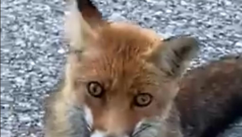 La volpe protagonista del curioso faccia a faccia a Forca di Presta nelle Marche