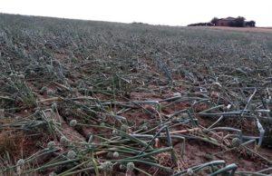I danni del maltempo alle colture di cipolle