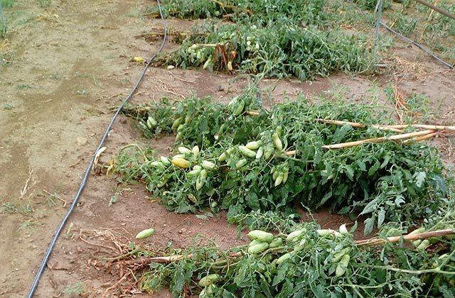 Danni alle colture di pomodori per il maltempo