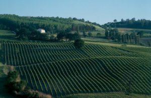 Vigne di Verdicchio dei castelli di Jesi, Contrada Busche, Moncaro