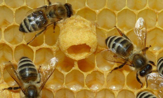 Maltempo, allarme per le api: apicoltori costretti a nutrirle. Poeta: «Situazione grave»