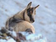 180 i camosci stimati all'interno del Parco Nazionale dei Monti Sibillini