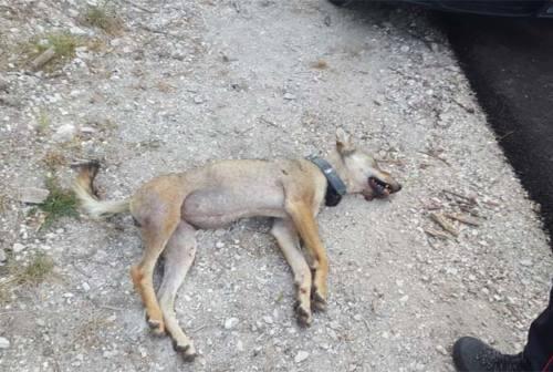Parco dei Monti Sibillini, è morta la lupa Magica