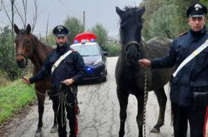 I cavalli recuperati dai Carabinieri a Senigallia