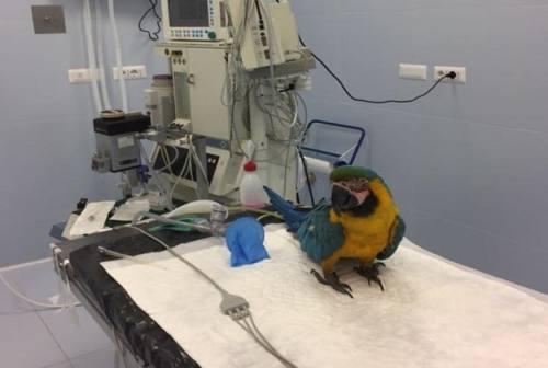 """""""VolaFranky"""", il progetto per disabili del pappagallo che scortava Scarponi"""