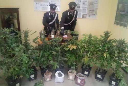 Valle del Foglia, piante di marijuana di 2 metri nello scantinato, coppia arrestata