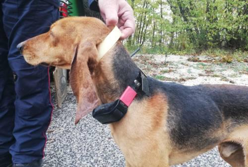 Visso, trovati 2 cani con collare elettrico, denunciati i proprietari