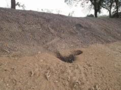 Una delle tane degli animali lungo il fiume Misa di Senigallia