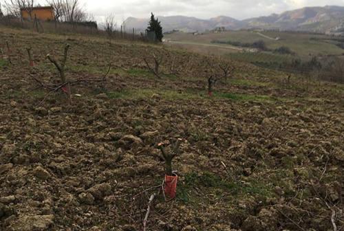 """Tagliate 250 piante, grave danneggiamento per """"Le Cantine del Cardinale"""" a Serra de' Conti"""