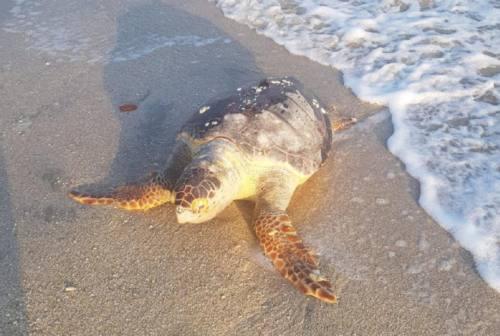 Senigallia, rinvenuta sulla battigia una tartaruga Caretta Caretta