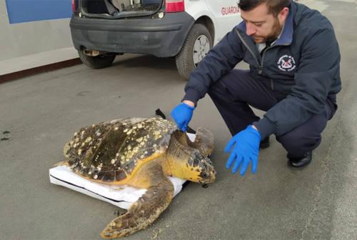 Tartaruga ferita tratta in salvo a Senigallia