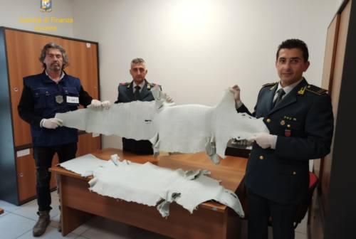 Pelli di alligatore nascoste in container, sequestro al porto di Ancona