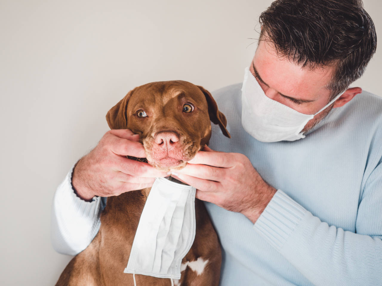 Sweet, pretty puppy of chocolate color and his owner, holding a medical mask. Closeup, indoors. Day light. Concept of care, education, obedience training, raising pets