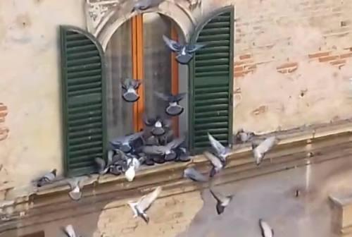 Problema piccioni in centro storico a Jesi, il video choc di chi gli dà da mangiare