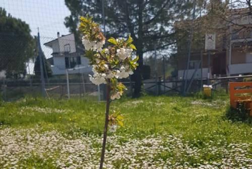 Osimo, rubato il ciliegio piantato durante la Festa della primavera