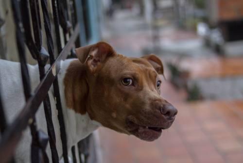 Pitbull sottratto a spacciatori, appello Enpa: «Lasciateci adottare King»