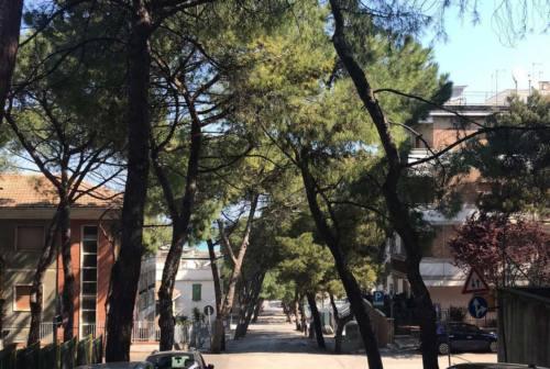 Falconara e i pini di via Gobetti, Signorini: «Formalizzeremo con una delibera la volontà di preservarli»