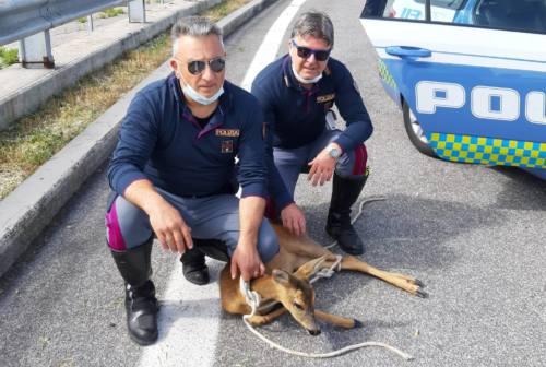 Ancona, polizia stradale salva un capriolo in A14
