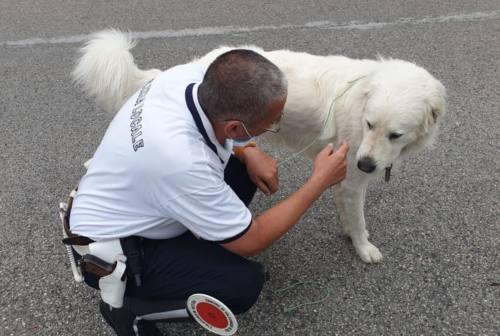 Ritrovato a Falconara cane fuggito da Cingoli. Scatta la sanzione per il proprietario
