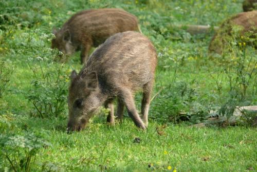 Caccia al cinghiale, è scontro fra animalisti e Coldiretti sulla legge regionale