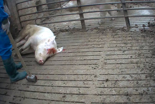 Senigallia, chiuso l'allevamento dopo l'indagine per violenze sugli animali e le proteste