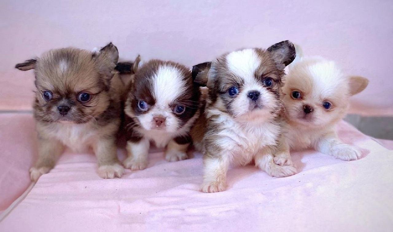Alcuni cuccioli dell'allevamento di cani a Trecastelli (Foto: Itshow Kennel)