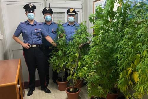 Valfornace, torna in libertà il pizzaiolo trovato con nove piante di marijuana